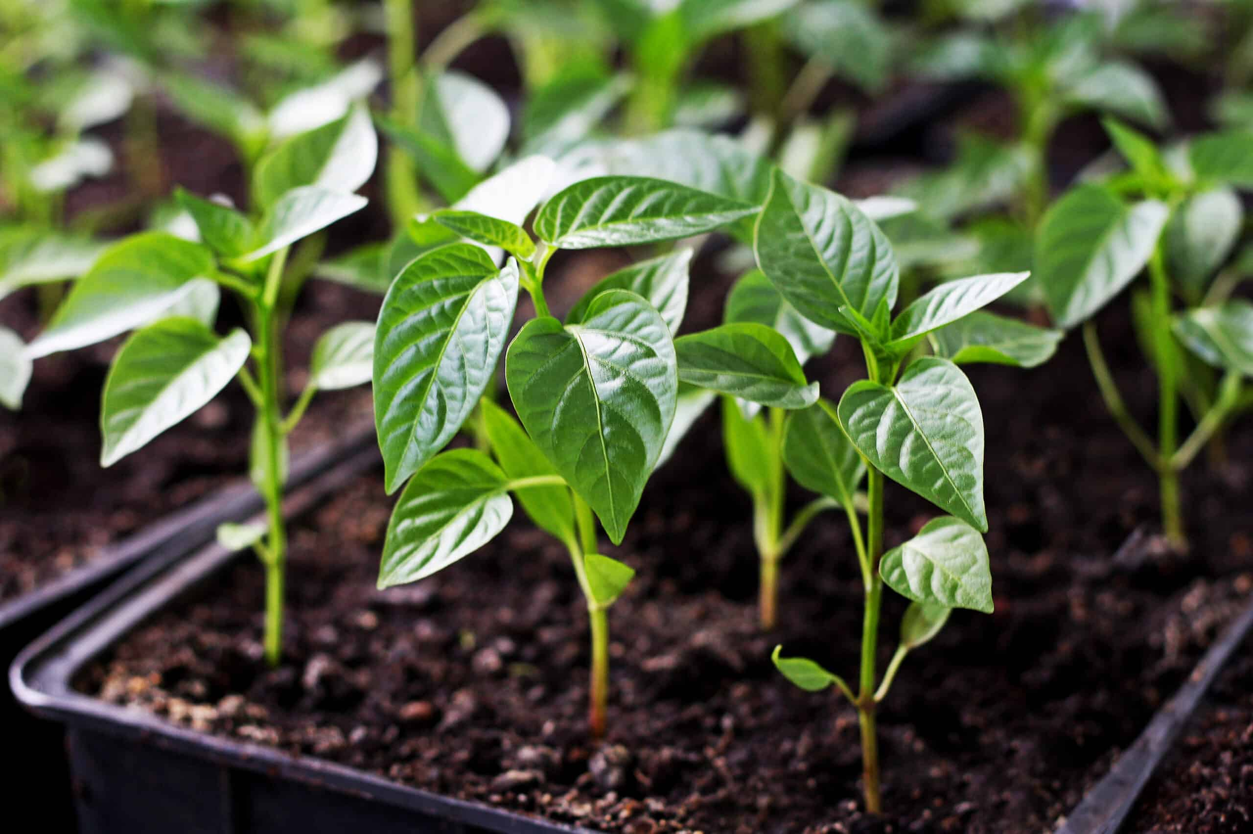 grow a pepper plant